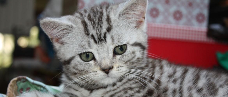 bengalische katze züchter
