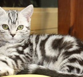 BKH Silvertabby Katze Standard