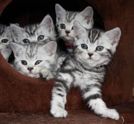 Silvertabby Kätzchen