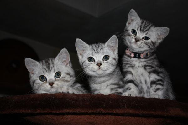 3Silvertabbies